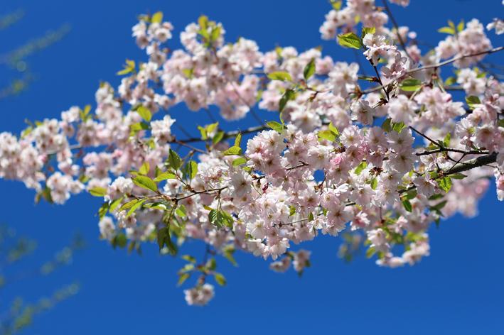 kirsikankukat1