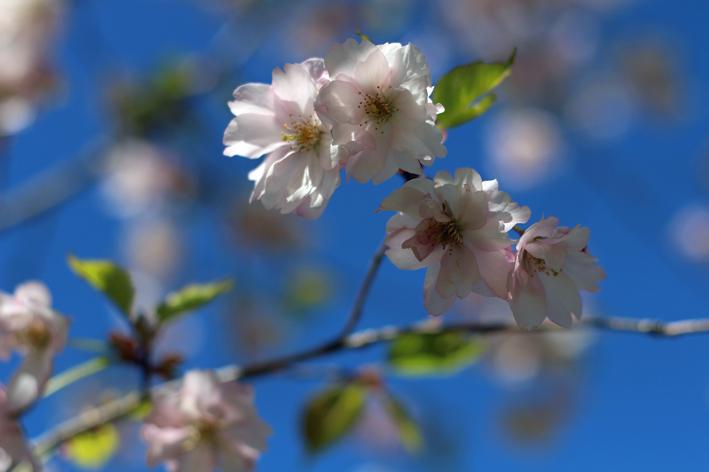 kirsikankukat2