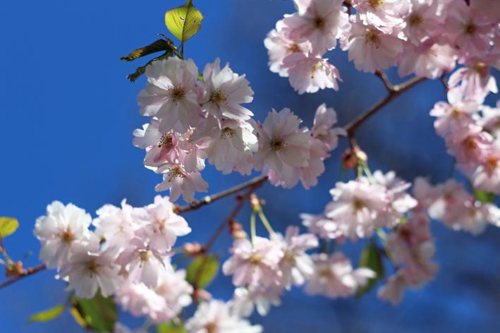 kirsikankukat4